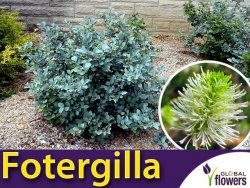 Fotergilla BLUE MIST (Fothergilla gardenii) Sadzonka C3