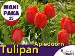 MAXI PAKA 25 szt Tulipan Darwina 'Apledoorn' (Tulipa) CEBULKI