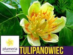 Tulipanowiec  (Liriodendron tulipifera) Sadzonka C1 OUTLET