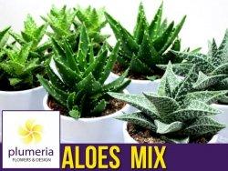 Aloes MIX (Aloe mix) Roślina domowa. Sadzonka 1 sztuka, P10 - S