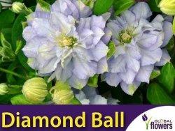 Powojnik wielkokwiatowy DIAMOND BALL PBR (Clematis) Sadzonka C2
