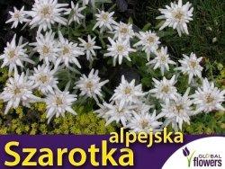 Szarotka alpejska biała (Leontopodium alpinum) Sadzonka