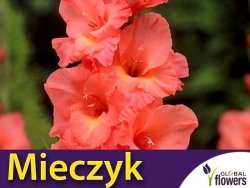Mieczyk wielokwiatowy (Gladiolus) Praha CEBULKA 5 szt
