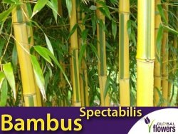 Bambus Drzewiasty SPECTABILIS Mrozoodporny (Phyllostachys aureosulcata) Sadzonka C2,5