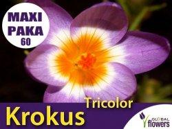 MAXI PAKA 60 szt Krokus 'Tricolor' (Crocus sieberi) CEBULKI