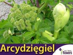 Arcydzięgiel litwor (Angelica archangelica) 0,5g