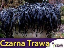 Czarna Trawa 'Niger' (Ophiopogon planiscapus) Prawdziwy Rarytas Sadzonka