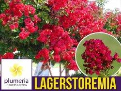 Lagerstroemia COCCINEA kwitnie 120 dni (Lagerstroemia indica) Sadzonka C3
