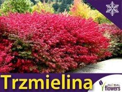 Trzmielina Oskrzydlona 'Compactus' (Euonymus alatus) Sadzonka