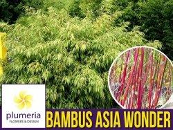 Bambus Mrozoodporny  ASIAN WONDER (Fargesia scabrida) Sadzonka C1,5