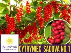 Cytryniec Chiński SADOVA No.1 (Schisandra chinensis) Sadzonka C1