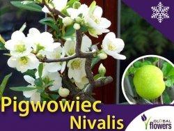Pigwowiec Pośredni biały 'Nivalis' (Chaenomeles superba) Sadzonka