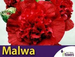 Malwa, Prawoślaz Czerwona (Alcea rosea fl.pl.) 0,5 Nasiona