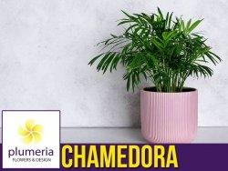 CHAMEDORA palma koralowa (Chamedorea Elegans) Roślina domowa. Sadzonka P12 - M