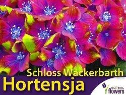 Hortensja ogrodowa 'Schloss Wackerbarth' różowo-czerwona (Hydrangea macrophylla) Sadzonka