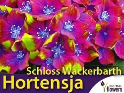 Hortensja ogrodowa SCHLOSS WACKERBARTH (Hydrangea macrophylla) Sadzonka C3