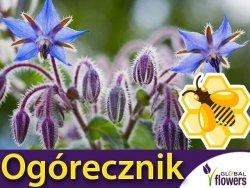 Roślina Miododajna OGÓRECZNIK (Borago officinalis) nasiona XXL 100g