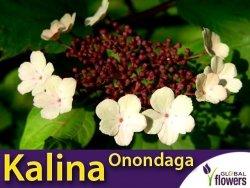 Kalina Sargenta 'Onondaga' (Viburnum sargentii) sadzonka