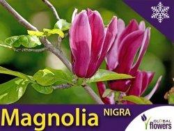 Magnolia purpurowa 'Nigra' (Magnolia liliiflora) Duża Sadzonka C2