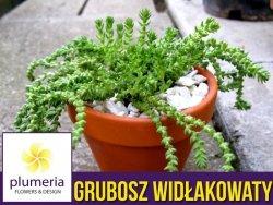 Grubosz widłakowaty (Crassula muscosa) Roślina domowa. Sadzonka P12 - M