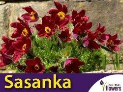 Sasanka zwyczajna czerwona (Pulsatilla vulgaris) nasiona 0,2g