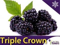 Jeżyna bezkolcowa 'Triple Crown' (Rubus fruticosa) Sadzonka