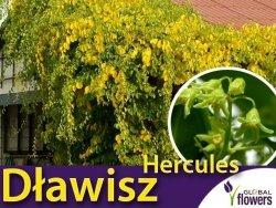 Dławisz okrągłolistny męski 'Herkules' (Celastrus orbiculatus) Sadzonka