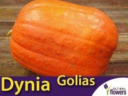Dynia olbrzymia JUSTYNKA (Cucurbita maxima) nasiona 3g +1g