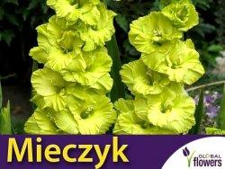 Mieczyk wielokwiatowy (Gladiolus) Green Star CEBULKA 5 szt.