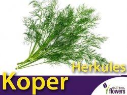 Koper ogrodowy Herkules (Anethum graveolens) XXL 500 g