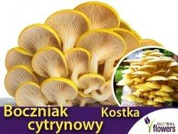 Boczniak cytrynowy (Pleurotus citrinopileatus) Kostka do uprawy domowej 3 kg