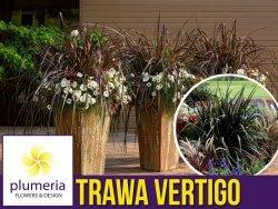 Rozplenica Słoniowa VERTIGO (Pennisetum purpureum) Trawa Sadzonka C2