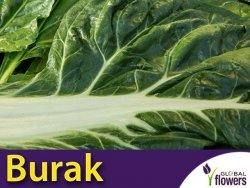 Burak liściowy Lucullus - zielonolistny (Beta vulgaris var.conditiva) nasiona 5g