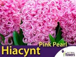 Hiacynt Wschodni 'Pink Pearl' (Hyacinthus) CEBULKI 2 szt