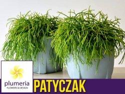 Patyczak (Rhipsalis oasis) Roślina domowa. Sadzonka P11 - M