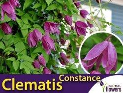 Powojnik botaniczny CONSTANCE (Clematis) Sadzonka C2