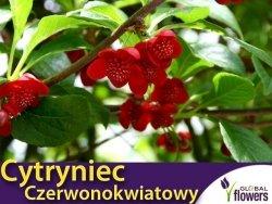 Cytryniec Czerwonokwiatowy męski (Schisandra rubriflora) Sadzonka