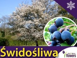 Świdośliwa olcholistna 'Smoky' (Amelanchier alnifolia) Sadzonka