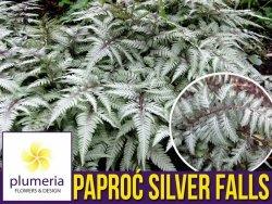 Paproć Wietlica SILVER FALLS (Athyrium nipponicum var.pictum) Sadzonka P9