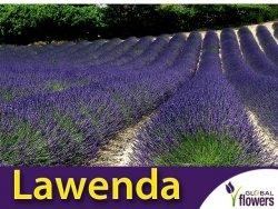Lawenda lekarska (Lavandula officinalis ) nasiona 0,2g