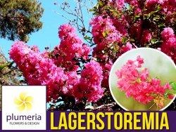 Lagerstroemia PETITE PINK kwitnie 120 dni (Lagerstroemia indica) Sadzonka C1