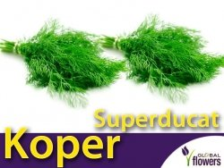 Koper ogrodowy. Superducat (Anethum graveolens) nasiona 5+2,5g