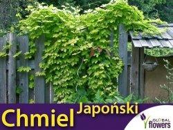 Chmiel Japoński pnącze (Humulus japonicus) nasiona 0,3g