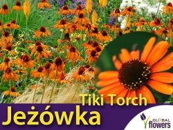 Jeżówka TIKI TORCH (Echinacea) Sadzonka C1