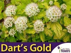 Pęcherznica kalinolistna 'Dart's Gold' (Physocarpus opulifolius) Sadzonka
