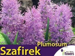 Szafirek 'Plumosum' (Muscari comosum) CEBULKI 7 szt.