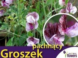 Groszek pachnący Senator, kremowy z czekoladowymi kreskami (Lathyrus odoratus) 5g nasiona LUX