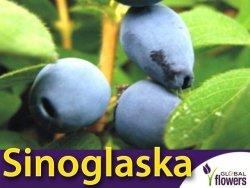 Jagoda Kamczacka Sadzonka - odmiana Sinoglaska