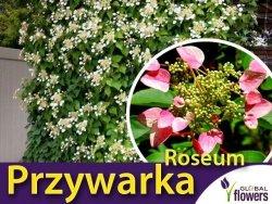 Przywarka japońska 'Roseum' (Schizophragma hydrangeoides) Sadzonka