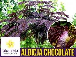 Albicja SUMMER CHOCOLATE (Albizia) Sadzonka UNIKAT ! C2